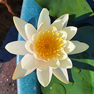 First water lily of spring!